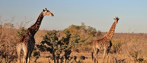 intro-zuidafrika-Kruger