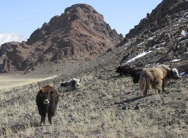 Altay incl runderen