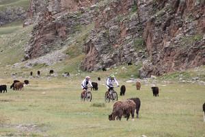 Mongolie bikers met vee
