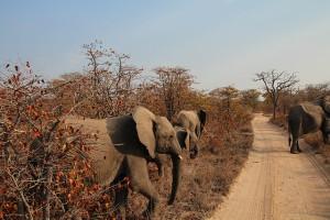 ZA Olifanten op weg